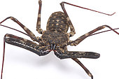 Giant whip scorpion (Damon medius) on white background