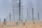 Remains of Spruce (Epicea abies) on bog in the Purple moorgrass (Molinia careula) in autumn, Ardennes, Belgium