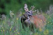 Roebuck (Capreolus caprelolus) buck washing, Ardenne, Belgium