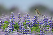 Meadow Pipit (Anthus pratensis) on flowers of Lupine (Lupinus sp), Iceland