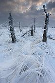 Purple moorgrass (Molinia caerulea) and dead trees under the snow, High Fens Nature Reserve, Ardennes, Belgium