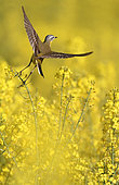Ashy-headed Wagtail (Motacilla flava) flying out of a rapeseed field in bloom, Belgium