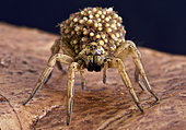 Wolf spiders carry their babies on their back as an extra protection against any would be predators.