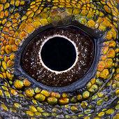 Eye of Chameleon agama (Gonocephalus chamaeleontinus) male, Java, Indonesia