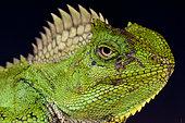 Portrait of Chameleon agama (Gonocephalus chamaeleontinus) female, Java, Indonesia