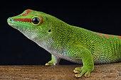 Giant day gecko (Phelsuma madagascariensis grandis), Madagascar