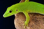 Pemba island day gecko (Phelsuma parkeri), Pemba Island, Tanzania