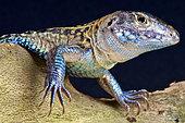 Four-toed whiptail lizard (Teius teyou), Paraguay