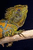 Chameleon agama (Gonocephalus chamaeleontinus), Java, Indonesia