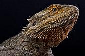 Pogona vitticeps, Bearded dragon, Australia