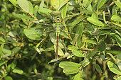anax empereur - anax imperator - femelle posée sur un arbuste