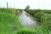 hibou des marais ou brachyote, plan large d'un poussin de 2 semaines enviriondans le marais vendéen