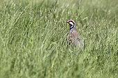 perdrix rouge dans un herbage