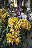 Cymbidium orchids in bloom on a veranda, Cymbidium 'Rijsenhout', Cymbidium 'Red Velvet Hen'