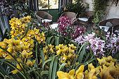 Scène d'orchidées fleuries dans une véranda, Cymbidium 'Rijsenhout'