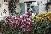 Scène d'orchidées fleuries dans une véranda, Cymbidium 'Rijsenhout', Cymbidium 'Red Velvet Hen'