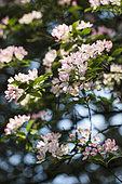 Midget crabapple (Malus x micromalus) in bloom. Arboretum of Kalmthout, Belgium