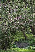 Ornamental apple tree in bloom. Scene of a malus x micromalus in bloom. Arboretum of Kalmthout, Belgium