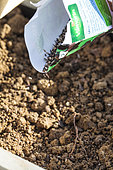 Sowing of Mesclun mix in a kitchen squaregarden. Seeding on the fly