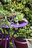 Plants de salade sur une table