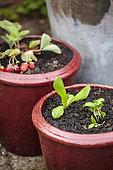 Potager en pots, Salade et basilic dans un pot