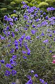 Geranium 'Orion'. Partie du jardin dite du Jardin de la paix. Les Jardins de Séricourt, Nord-Pas-de-Calais, France