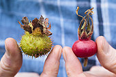 Rosehips of Chestnut rose and rugosa rose