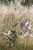 Bodinier's beautyberry (Callicarpa bodinieri) fruits in a bed of grasses Molinia (Molinia sp) in autumn