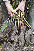 Tuberous roots of Marvel-of-Peru (Mirabilis jalapa). In cold climates, tear off the rhizomes when the foliage has begun to freeze in order to preserve the plant for the following season