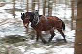 """cheval de trait Travail en forêt-débusquage d'épicéas Croisement entre hafflinger et Trait Belge """"Race"""" légère pour travail en pente"""