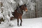 """cheval de trait -Travail en forêt Croisement entre hafflinger et Trait Belge """"Race"""" légère pour travail en pente"""