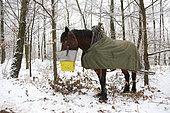 """cheval de trait au repos-repas de midi Travail en forêt Croisement entre hafflinger et Trait Belge """"Race"""" légère pour travail en pente"""