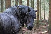 Trait Belge-Brabançon Débardage d'épicéas en forêt Ardenne