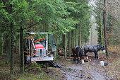 Cheval de trait - Trait ardennais travaillant en collaboration avec un tracteur forestier pour débardage de bois de chauffage en forêt Pause des chevaux et conducteurs Ardenne