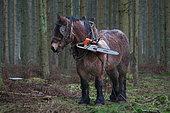 Cheval de trait - Trait ardennais au travail en forêt résineuse Transport du matériel du débardeur judqu'au chantier Ardenne