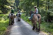 Cheval de trait - Trait ardennais se rendant au travail en forêt Ardenne