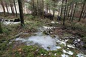 Cheval de trait - Trait ardennais au travail en forêt résineuse Débardage en zone humide au sol fragile Ardenne