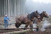 Cheval de trait - Trait ardennais au travail en forêt résineuse Débardage de chablis d'épicéas Ardenne