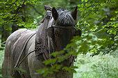 Travail au cheval en forêt-pause de midi Trait Ardennais Ardenne-Hêtraie