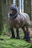 Trait Belge-Brabançon travaillant en forêt au débardage d'épicéas Ardenne