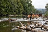 enlèvement d'embacles sur la Semois avec cheval de trait Ardennais Ardenne