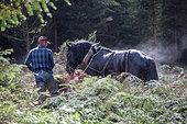 travail en forêt avec cheval Percheron sous la pluie Désenrésinement d'une zone humide Ardenne