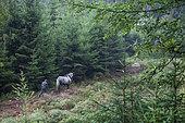 travail avec cheval de trait Percheron Désenrésinement de fond de vallée en forêt Ardenne