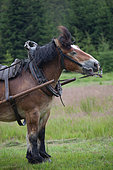 Cheval de trait-Trait Ardennais attelé s'ébrouant Ardenne