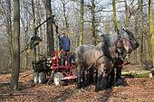 Cheval de trait - Traits Belges et porteur hyppomobile au travail en forêt feuillue Hêtraie-chênaie Ardenne