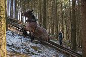 Cheval de trait - Trait ardennais au travail en forêt résineuse de pente sspins de Douglas Ardenne