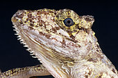 Portrait of False Chameleon anole (Anolis porcus), Cuba