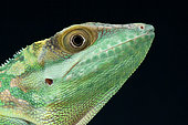 Portrait of Smallwood's giant anole (Anolis smallwoodi smallwoodi), Cuba