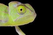 Portrait of Veiled chameleon (Chamaeleo calyptratus) baby