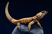 Armadillo lizard (Ouroborus cataphractus), South Africa